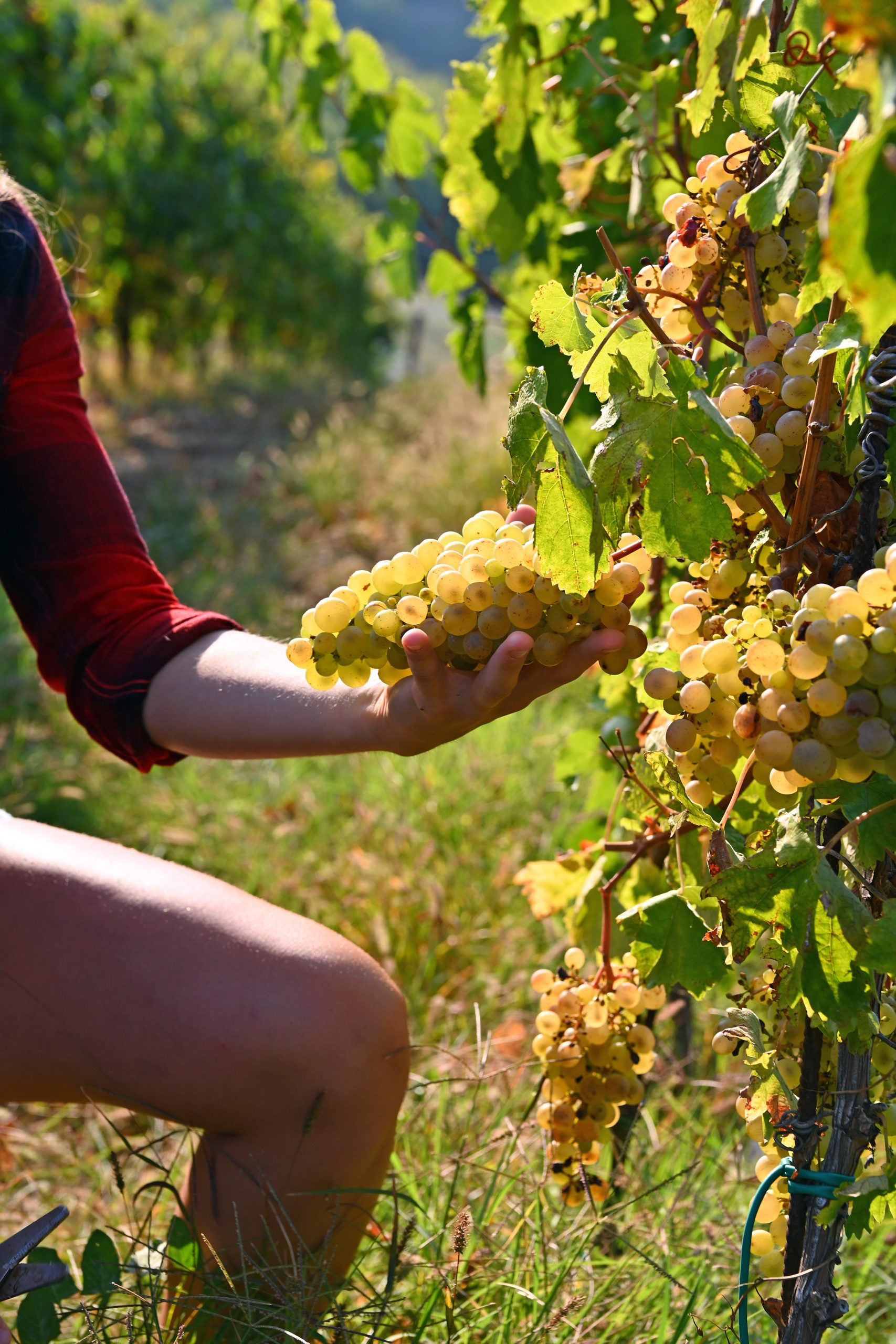 raccolta uva miralune